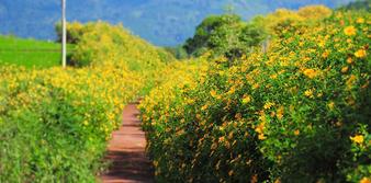 Những cung đường hoa Dã Quỳ nở rộ mang sắc màu vàng tươi óng ả